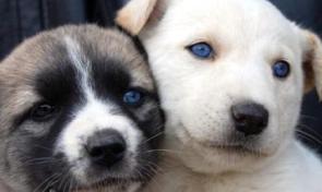 Adıyamandaki Mavi Gözlü Köpekler