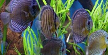 Akvaryumda Tropikal Balık Besleyenler Uyarı