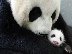 Anne Ve Yavru Pandanın Kavuşma Anı