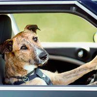 Araba Süren Köpek Görüntüleri