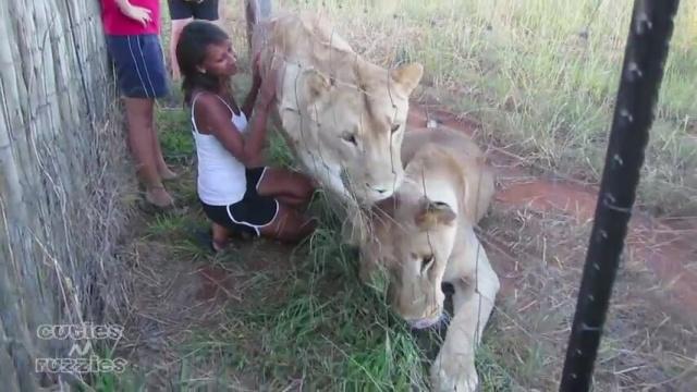 Aslanı Öpen Ziyaretçi Kızı İzle