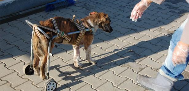 Bursada Felçli Köpeğe Tekerlekli Sandalye