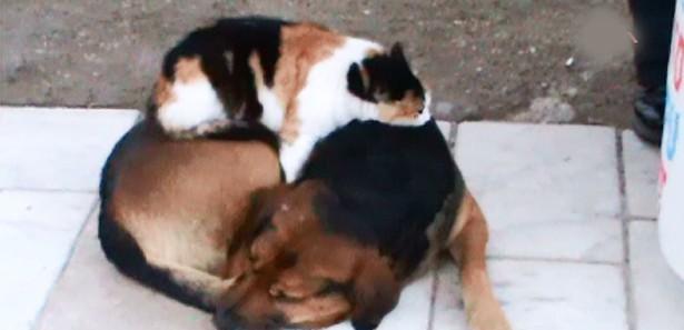 Muğlada Köpeğin Üstünde Yatan Kedi